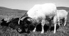 Two Great Sheep (Hao Da Y
